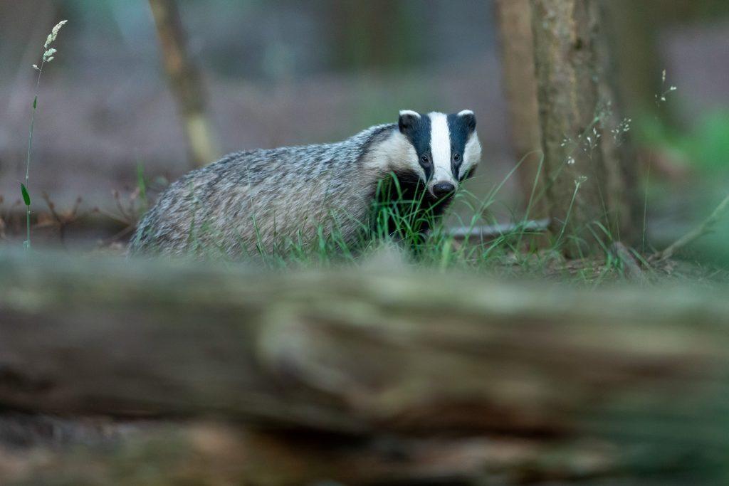 black-white-badger
