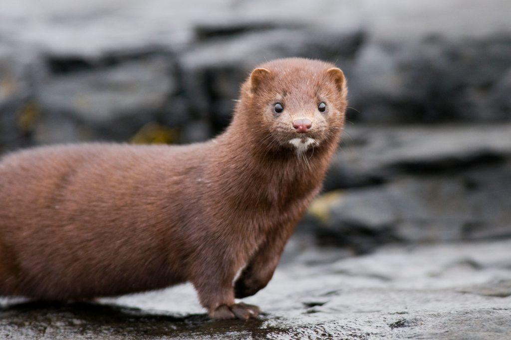 brown-mink