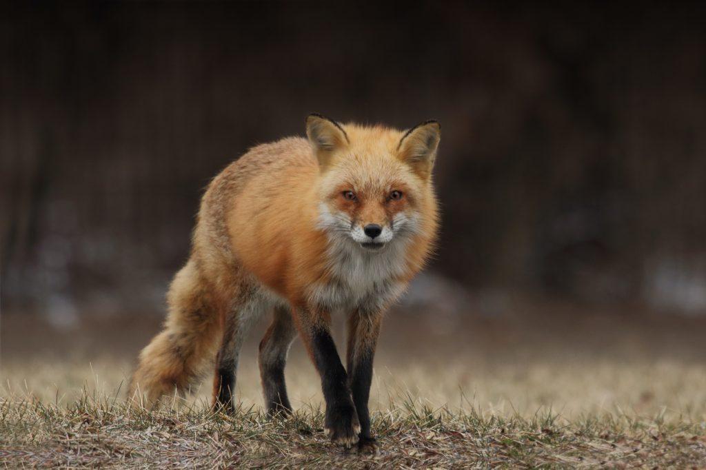 red-fox-lurking