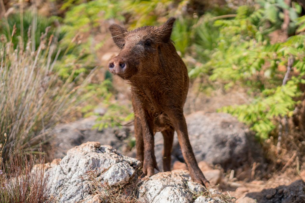 young-wild-boar-brown